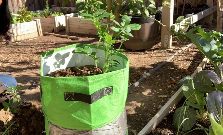 Planting tomatoes in a grow bag